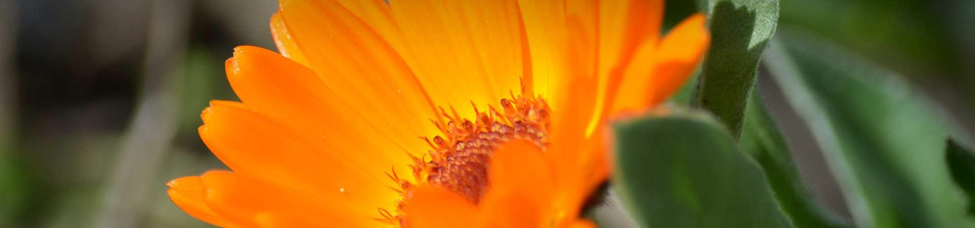 Ringelblume - Persönlich wachsen