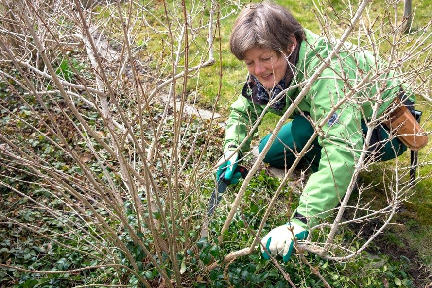 Renate Lorenz zeigt wie ein Busch geschnitten wird